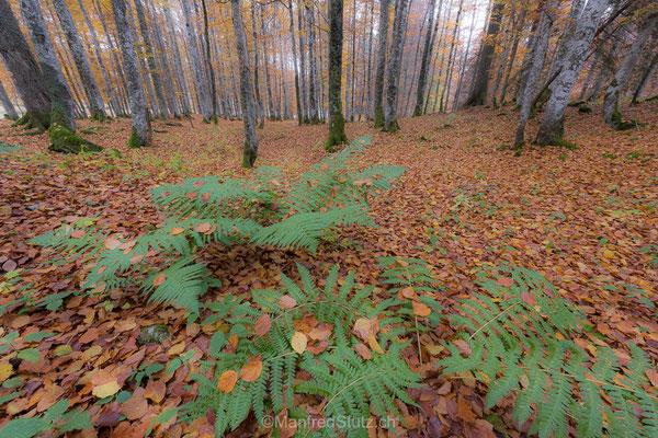 Herbstwald in der Region Creux du Van