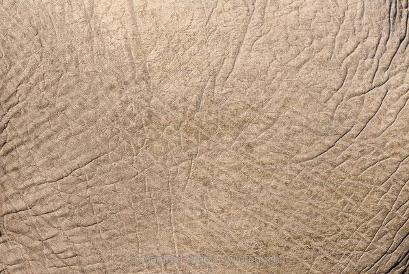 Afrikanischer Elefant, Loxodonta africana, 20120326-MSF5414