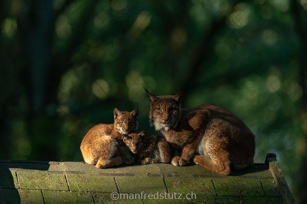 Familie Luchs, Eurasischer Luchs, Wildpark Gangelt, Deutschland