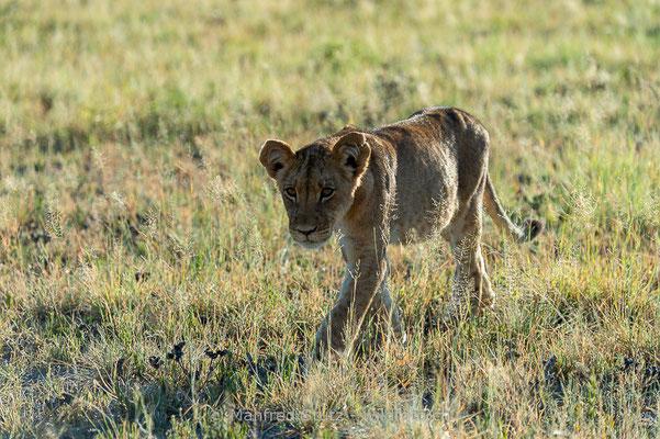Afrikanischer Löwe, Panthera leo, Jungtier, _MSF0994