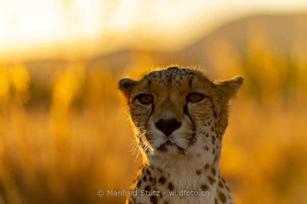 Gepard, Acinonyx jubatus, 20161006-D4D4912