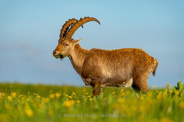Alpensteinbock, Capra ibex, Steinbock, Männlich, 20160609-D4D4226