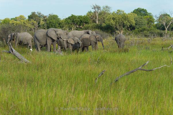Afrikanischer Elefant, Loxodonta africana, 20150305-BW.2015.017