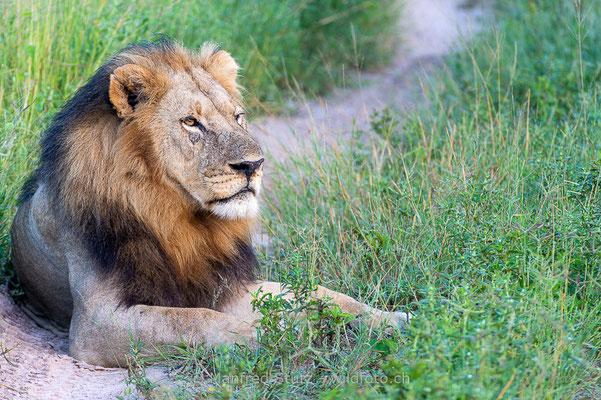 Afrikanischer Löwe, Panthera leo, Männlich, 20130222-_MSF0195