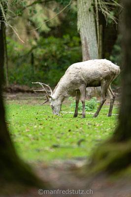 Weisser Hirsch, Wildpark Gangelt, Deutschland