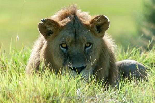 Afrikanischer Löwe, Panthera leo, Männlich, _MSF8392