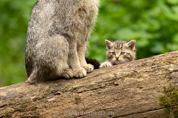 Europäische Wildkatze, Wildnispark Zürich