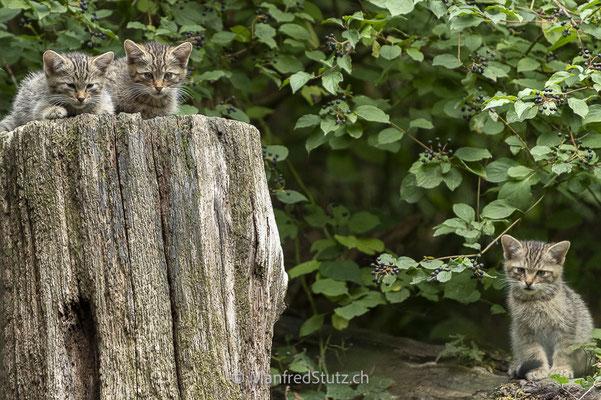 Junge Wildkatzen (wildpark)