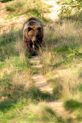 Europäischer Braunbär im Wildpark Gangelt, Deutschland