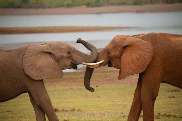 Afrikanischer Elefant, Loxodonta africana, 20131031-MSF1285