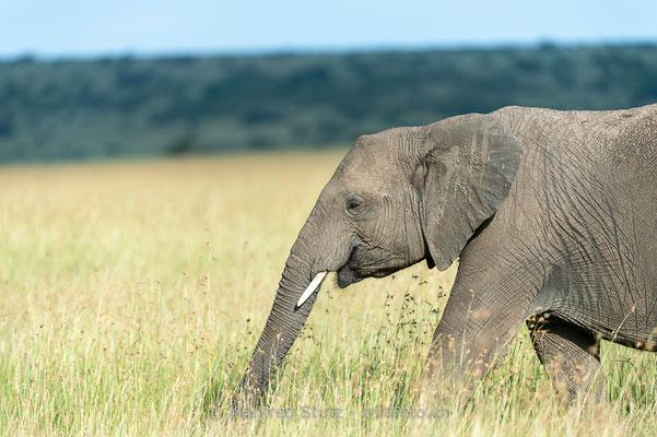 Afrikanischer Elefant, Loxodonta africana, 20160204-D049715