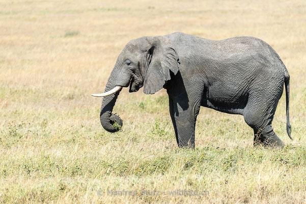 Afrikanischer Elefant, Loxodonta africana, 20140528-MSF1509