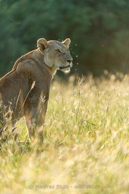 Afrikanischer Löwe, Panthera leo, Weiblich, _D042464