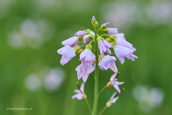 Wiesenschaumkraut (Cardamine pratensis) Schweiz