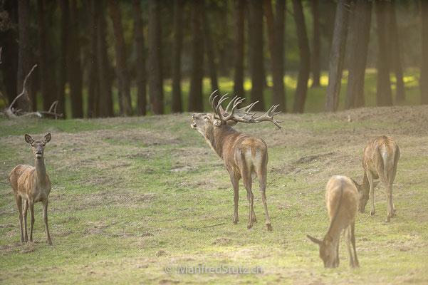 Platzhirsch mit seinem Harem am Röhren, Wildpark Gangelt, Deutschland