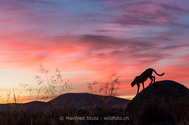 Gepard, Acinonyx jubatus, 20161007-E.2016.004