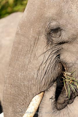 Afrikanischer Elefant, Loxodonta africana, 20120326-MSF5410