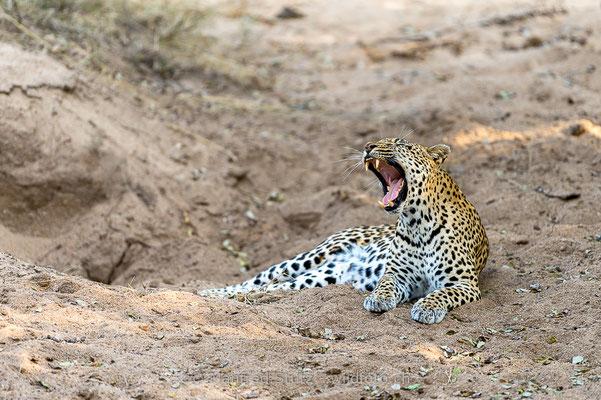 Afrikanischer Leopard, Panthera pardus pardus, 20170702-D4D9579
