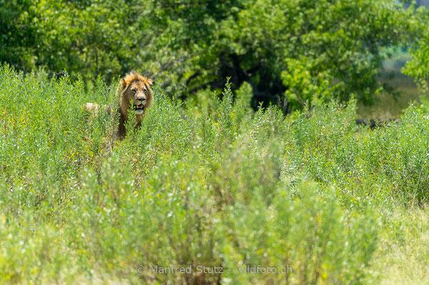 Afrikanischer Löwe, Panthera leo, Männchen, 20150307-BW.2015.029