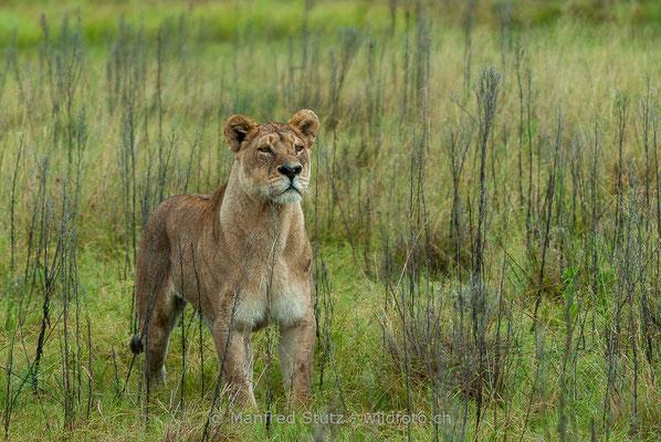 Afrikanischer Löwe, Panthera leo, Weiblich, _MSF6343