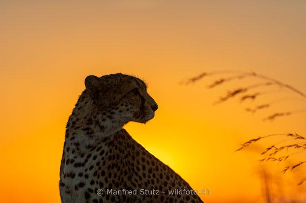 Gepard, Acinonyx jubatus, 20161007-D4D5142
