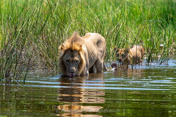 Afrikanischer Löwe, Panthera leo, Männchen, Jungtier, _MSF2701