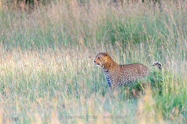 Afrikanischer Leopard, Panthera pardus pardus, 20160205-D040191