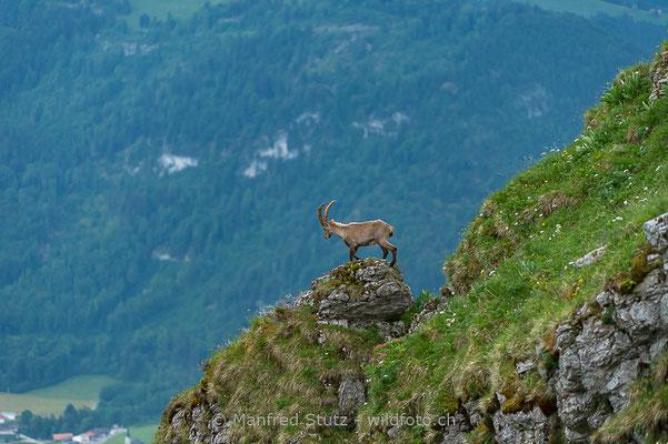 Alpensteinbock, Capra ibex, Steinbock, Männlich, D4D3006