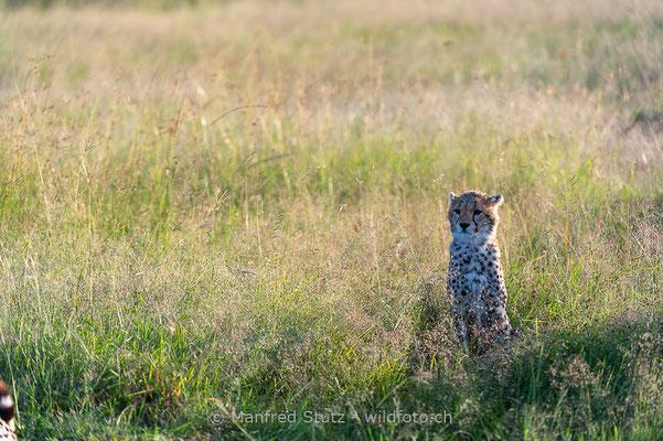 Gepard, Acinonyx jubatus, 20160206-D041131