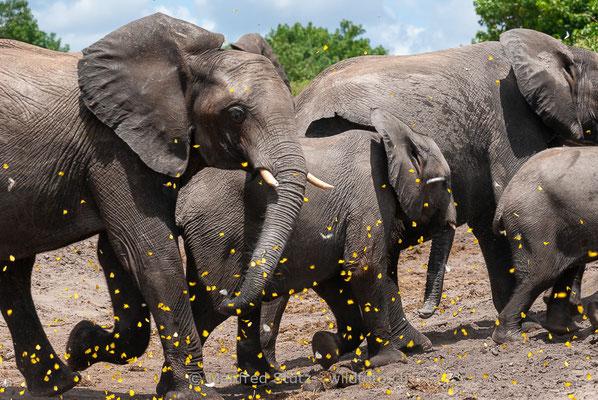 Afrikanischer Elefant, Loxodonta africana, 20120324-MSF4588