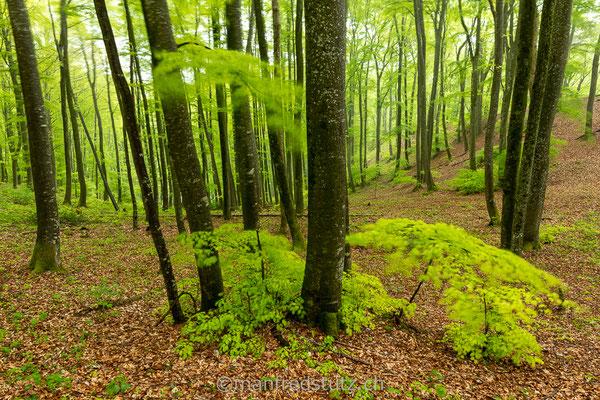 Ein Buchenwaldstück im Kanton Aargau