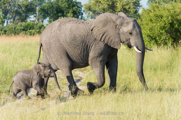 Afrikanischer Elefant, Loxodonta africana, 20150307-BW.2015.021