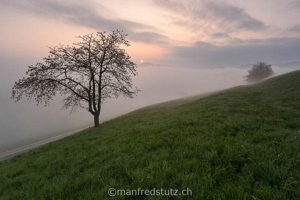Kirschbäume mit Nebel am Chriesiweg im Fricktal, Aargau
