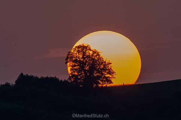 Linde von Linn mit untergehender Sonne, Kanton Aargau