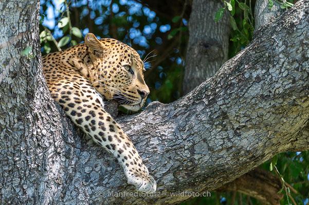 Afrikanischer Leopard, Panthera pardus pardus, 20130224-MSF2235