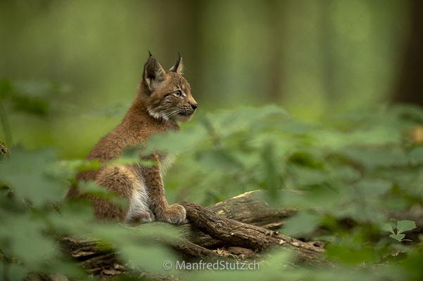 Junger Luchs im Wald, Eurasischer Luchs, Wildpark Gangelt, Deutschland