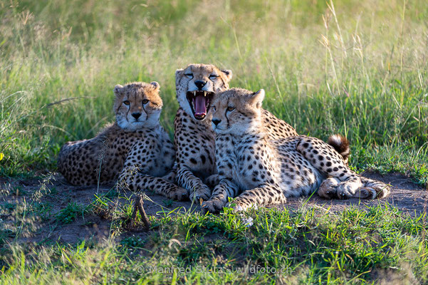 Gepard, Acinonyx jubatus, 20160206-D041183