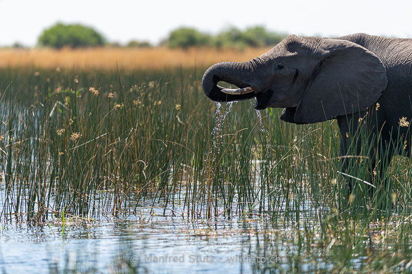 Afrikanischer Elefant, Loxodonta africana, 20181002-D4D9398-2