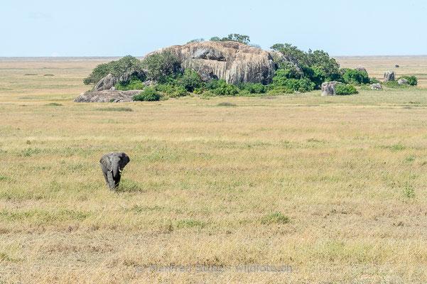 Afrikanischer Elefant, Loxodonta africana, 20140528-MSF1482