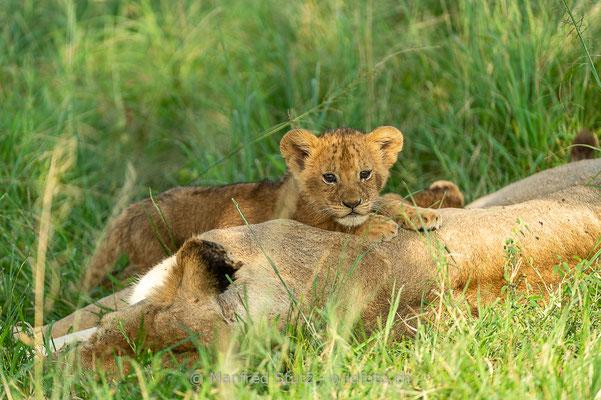 Afrikanischer Löwe, Panthera leo, Jungtier, 20160209-_D046213