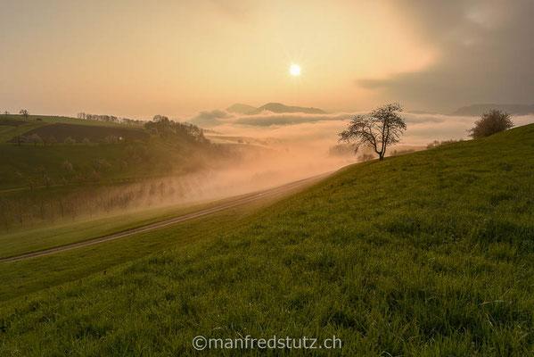 Kirschbäume mit Nebel am Chriesiwäg im Fricktal, Aargau