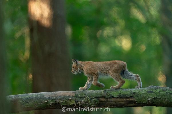 Eurasischer Luchs, Wildpark Gangelt, Deutschland