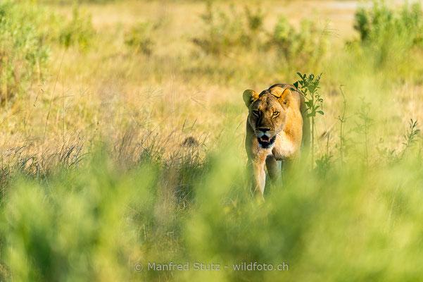 Afrikanischer Löwe, Panthera leo, Weiblich, 20150313-i00629