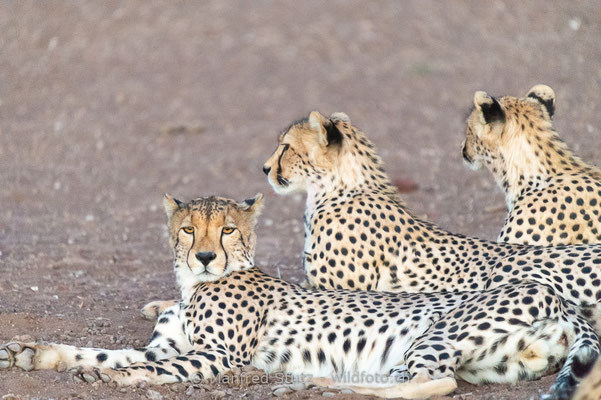 Gepard, Acinonyx jubatus, 20120930-20120930-MSF9459