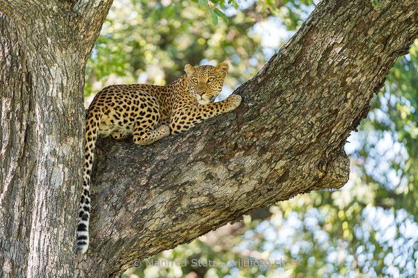 Afrikanischer Leopard, Panthera pardus pardus, 20130226-MSF2888