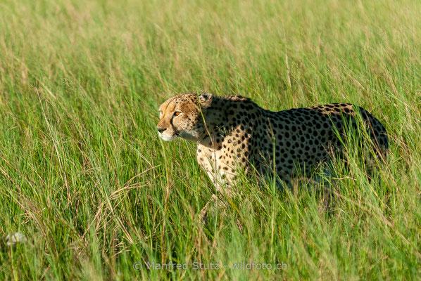Gepard, Acinonyx jubatus, 20120401-MSF8485