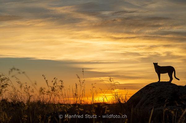 Gepard, Acinonyx jubatus, 20161007-D4D7566
