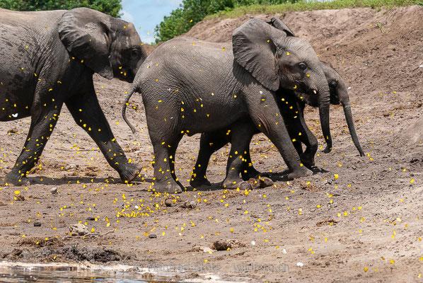 Afrikanischer Elefant, Loxodonta africana, 20120324-MSF4585