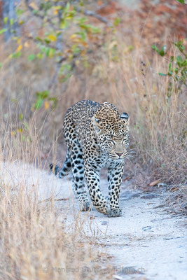 Afrikanischer Leopard, Panthera pardus pardus, 20170705-DSC-5222