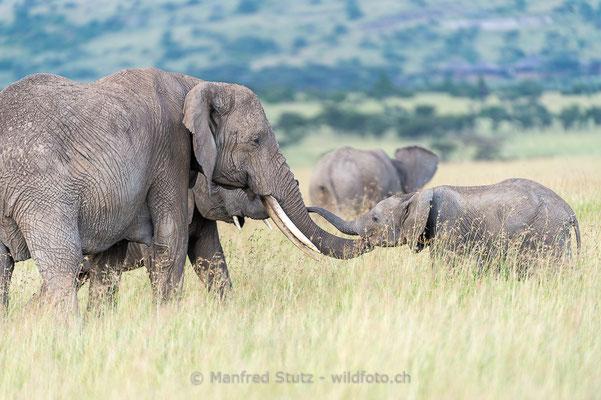 Afrikanischer Elefant, Loxodonta africana, 20160204-D049759